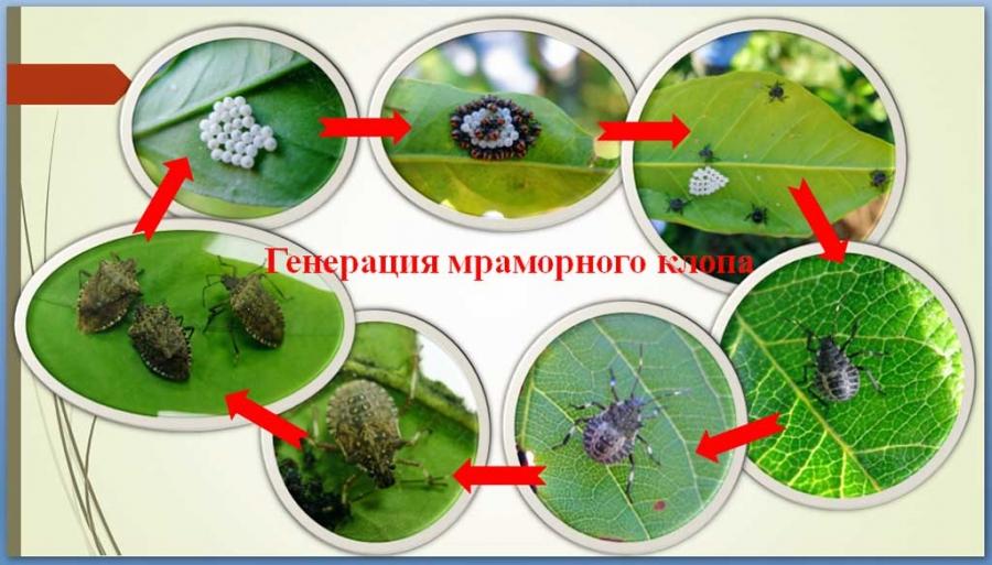 Важно: о необходимости борьбы с сельскохозяйственным вредителем — коричнево-мраморным клопом